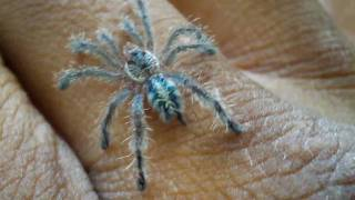 A. Fasciculata From Ken