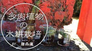 100均でできる多肉植物の水耕栽培藤森蓮