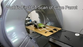 CT Scan of Cape Parrot Truman