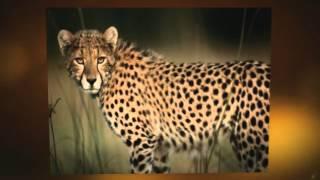 Cheetah's ARE GOING EXTINCT!