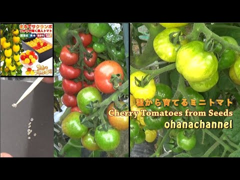 , title : '🌱種から育てるミニトマト🌱How to grow Cherry Tomatoes from Seeds❢