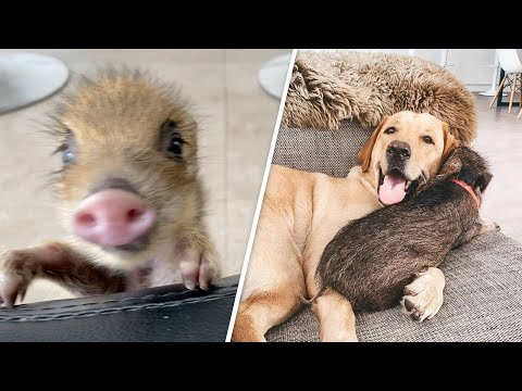 This Baby Boar Thinks She's a Puppy - AWW!