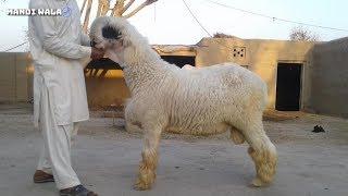 Bakra mandi beetal bakre for sale in balawal goat farm 0316