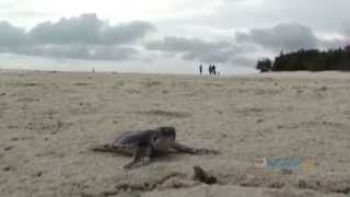 Baby Sea Turtle Makes Its Way To The Ocean
