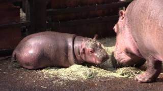 カバの赤ちゃん「テト」Baby Hippo Teto