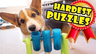 Smart CORGI Breed On HARDEST DOG PUZZLES    Extra After College