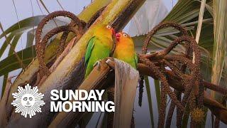 Nature: Lovebirds in Tanzania