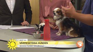 """Skydda din hund i värmen: """"Håller hunden på att dö är det väldigt bråttom""""   - Nyhetsmorgon (TV4)"""