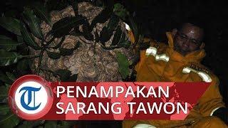 Video Evakuasi Sarang Tawon Raksasa dari Pohon, Miliki Berat 6 Kilogram dan Sering Sengat Warga