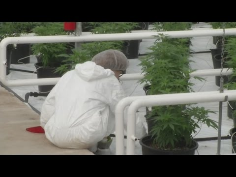 Applications being accepted for licenses to grow and sell marijuana