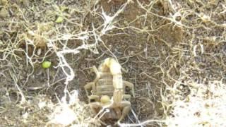 Escolopendra Y Escorpion