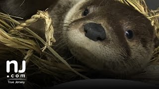 Super cute river otter is released back into the wild