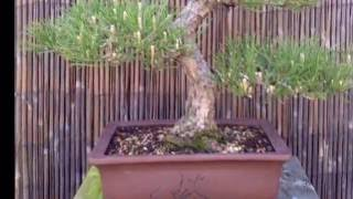 Bonsai   Japanese Black Pine    4 Year Progression