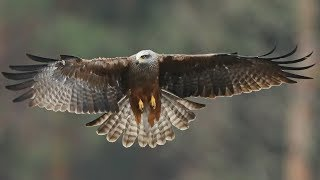 Black Kites in flight- close up