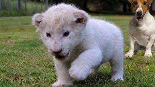 Смотреть онлайн Белый львенок обожает играть с людьми и собаками