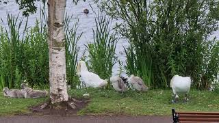 Swans with cygnets (2) at Doncaster Lakeside