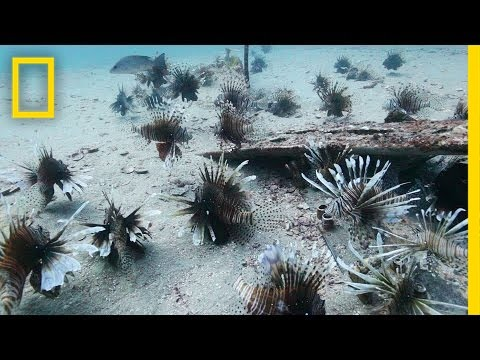 Video Divers Fight the Invasive Lionfish | National Geographic