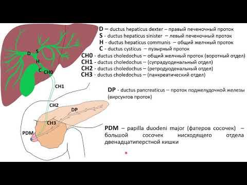Ультразвуковая анатомия желчного пузыря и желчевыводящих путей 2019