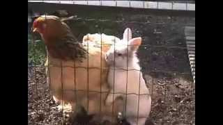 Rabbit Takes Chicken