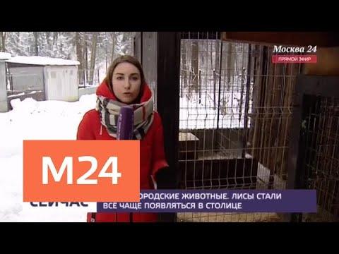 Врачи призвали к осторожности в отношении лис в спальных районах Москвы - Москва 24