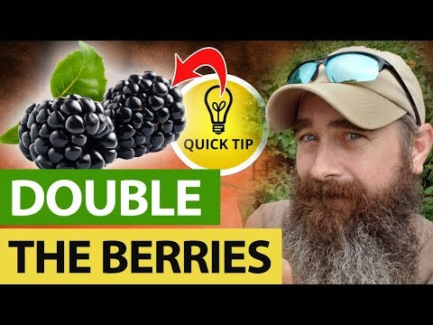 How I Double My Blackberries Every Year!