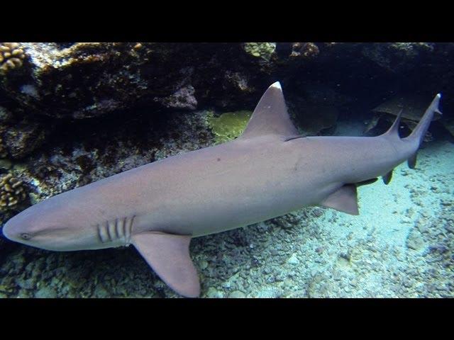 Hawaiian White Tip Reef Sharks (snorkeling)