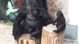 Gorilla dad Richard  and Tatu playing