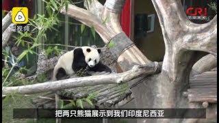 Endonezya'daki Panda Evi Büyük İlgi Görüyor
