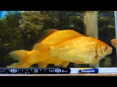 金魚 を育てたらこんなになりました 和金 ( Goldfish )