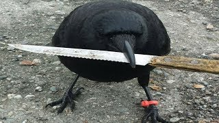 This Crow Was Found Tampering With a Crime Scene  And His Dad Was Not Best Pleased | Kholo.pk