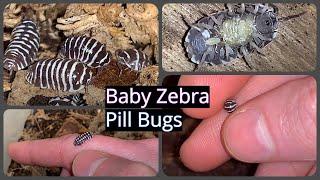 Baby Zebra Pill Bugs Marsupium Birth