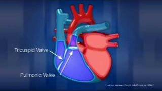 Heart - Anatomy and Function