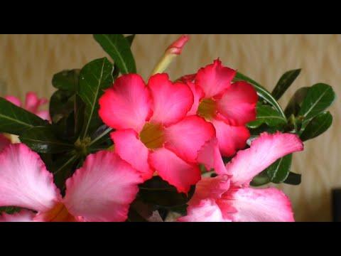Домашние цветы и Адениум самый красивый.