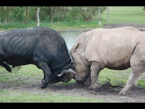 Rhino Battles a Cape Buffalo