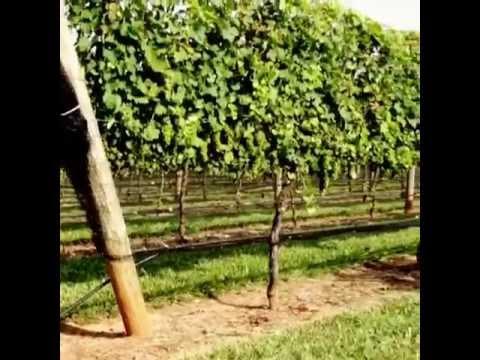 Through the vines at Childress Vineyards