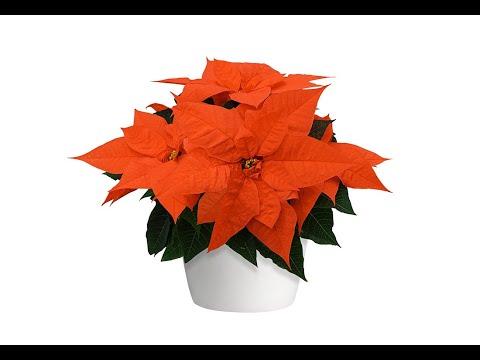 Orange Glow Poinsettia thumbnail