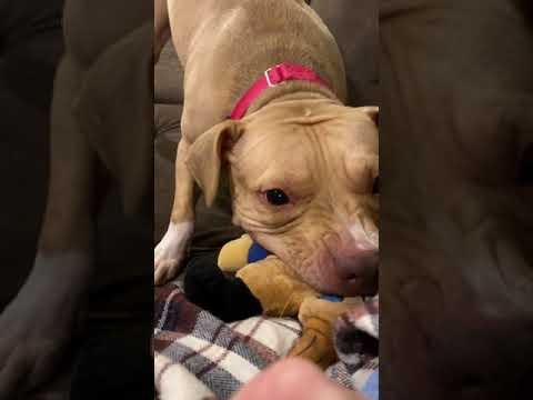 Rosie, an adopted Pit Bull Terrier Mix in Woodridge, IL_image-1