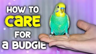 How to Care for a Budgie