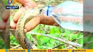 King Cobra drinking water | After video goes viral