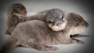 The Dark Side Of Otters
