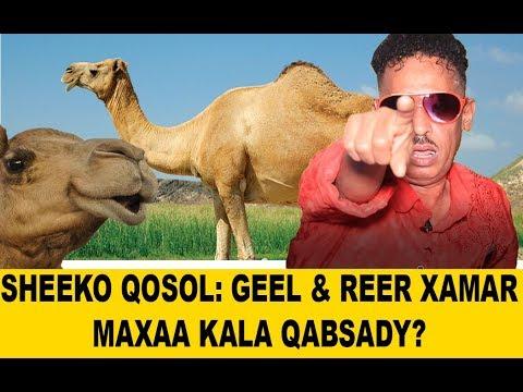 SHEEKO: Reer Xamar Weyne & Geelow Gumbacow maxaa kala qabsaday? AJAKIS - King of Comedy