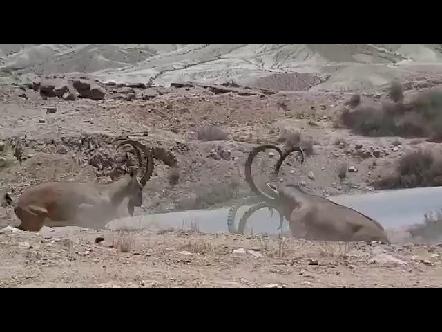 שלושה זכרים בקרב מרהיב • צפו בתיעוד