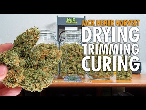 Jack Herer Marijuana Harvest + Dry Weights - Complete Guide