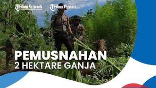 BNN Temukan 2 Hektare Ladang Ganja di Aceh, Total Berat Capai 15 Ton, Dimusnahkan dengan Dibakar