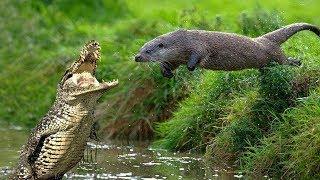 Rái Cá Khổng Lồ Nam Mỹ - Con Quái Vật Khiến Cá Sấu Đen Và Báo Đốm Phải Cúi Đầu
