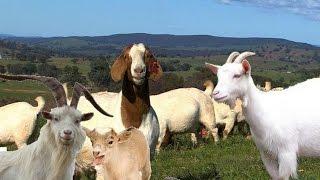 انواع سلالات الماعز العالمية والاشهر فى العالم