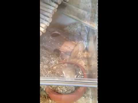 Fettschwanzmaus Erna baut ein Nest