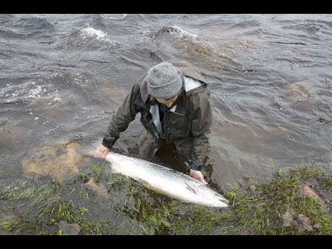 Random moments of salmon fishing - Kalaukko Fly Fishing