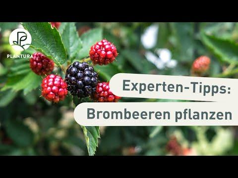 Brombeeren pflanzen: Unsere Experten-Tipps (Anleitung)