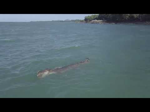 Dron uchwycił, jak dobry krokodyl wziął żółwia na przepływkę